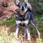hunting in sweden