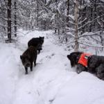 vildsvin och hund