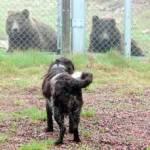 björnar och hund