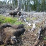 Björn eftersök Linghed