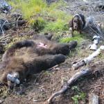 Björneftersök Linghed