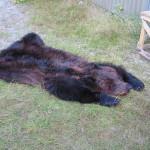 Björnskinn efter slakt